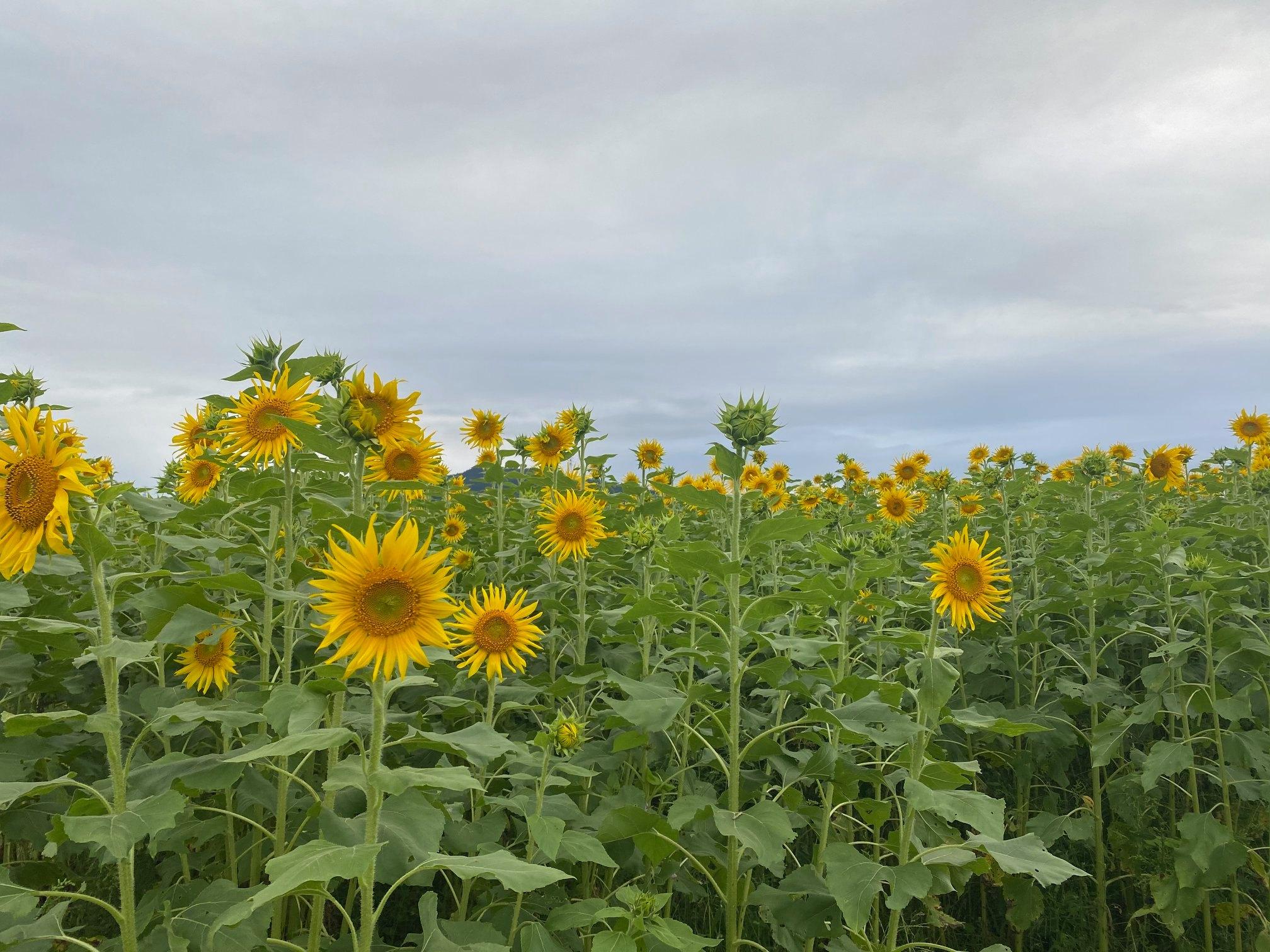 富岡市丹生地区のひまわり畑